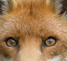 Red Fox portrait Sticker