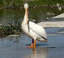 North American White Pelican Profile by Bellavista2