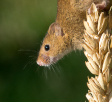 Harvest mouse on an ear of wheat Sticker