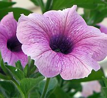 Little Light Violet Petunia by Terrie Heslop