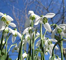Snowdrops from the sky by AnnaO