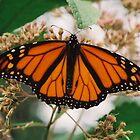 Monarch  by clizzio