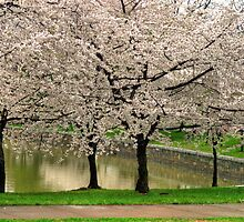 Cherry Blossoms by LisaM