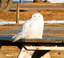 Snowy Owl by Rpnzle