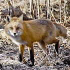 Just Foxy!!! by Kasey Cline