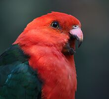 Australian King Parrot by margotk