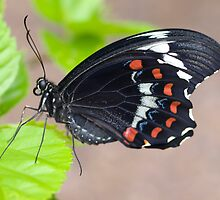 Male Dainty Swallowtail butterfly by Anna D'Accione
