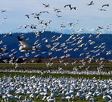 Snow Geese Twenty Four by Rick Lawler