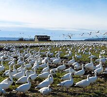 Snow Geese Twenty One by Rick Lawler