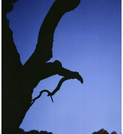 Tree branches in silhouette against blue dusk sky  square medium format film analogue photographs Sticker