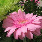 So Pretty In Pink - Gentle Gerbera Daisy by SunriseRose