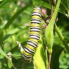 The Black Yellow & White Caterpillar by 1greenthumb