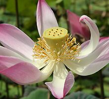 Lotus lilly by InNature