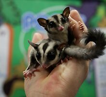 Sugar Gliders by ZeeZeeshots