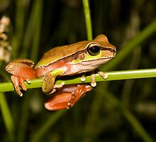 Blue Mountains Tree Frog Litoria citropa by Henry  Cook