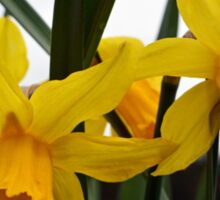 yellow daffodil flowers. floral photography. Sticker