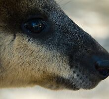 Swamp Wallaby Series - Part 1 by Lass With a Camera