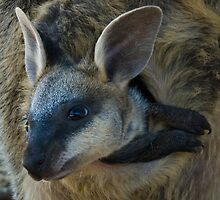 Swamp Wallaby Series - Part 3 - Peek a Boo by Lass With a Camera
