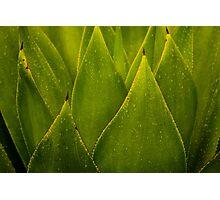 Sempervivum Hawaiian Cactus Plant Photographic Print