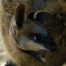 Swamp Wallaby Series - Part 4 - Peekaboo Two! by Lass With a Camera