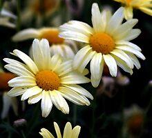 Pretty Daisy by LisaM