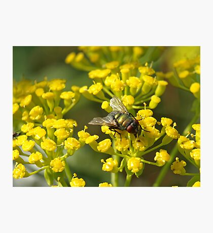 Fly on fennel flowers Photographic Print