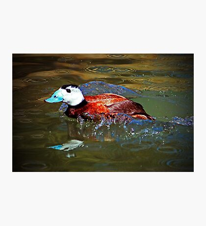 White Headed Duck Photographic Print