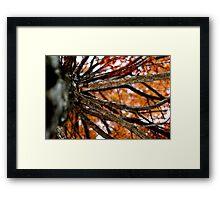 Autumnal Cypress Framed Print