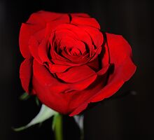 rosE red by T. Thornton