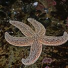 Starfish by AcePhotography