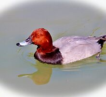 Canvasback by Cynthia48