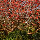 Coral tree ablaze with blooms by Celeste Mookherjee