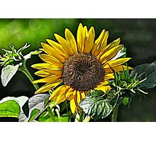 SUNFLOWER FRACTALIUS Photographic Print