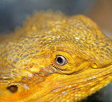 Bearded Dragons Profile by tigerwings