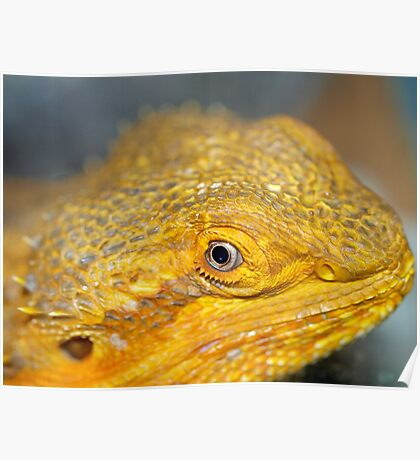 Bearded Dragons Profile Poster