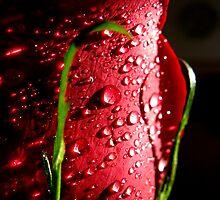 Royal rose by Olga