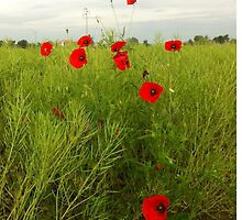 Poppies by latasic