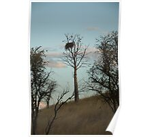 Eagles Nest in Boab Tree Poster