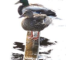 Mallard Pair by RVogler
