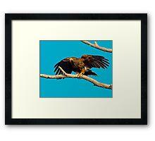 Harris Hawk Framed Print