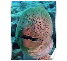 Giant Moray Eel Poster