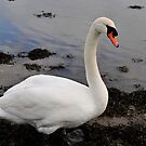 Swan,  (Given to me by SMcGowan) by Sarahphotos