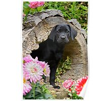 Lab puppy playing hide and seek Poster