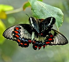 Butterfly Love by Steven  Agius