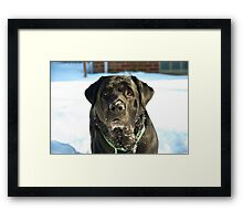 The English Labrador Framed Print