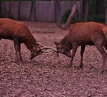 Stags fighting by franceslewis