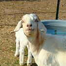 Smiling Goat Face by Catherine  Howell