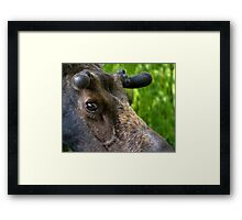 Moose Bull In Velvet Framed Print