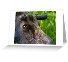 Moose Bull In Velvet Greeting Card