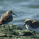 Shore Birds by SpiritFox